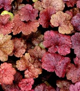 Heuchera hybrida 'Galaxy', Гейхера гібридна 'Гелексі'