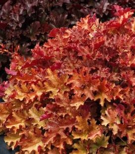 Heuchera hybrida 'Ginger Peach', Гейхера гібридна 'Джінджер Піч'
