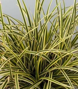 Carex morrowii 'Vanilla Ice', Осока японська 'Ваніла Айс'