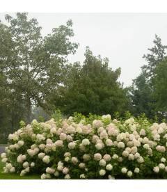 Гортензия метельчатая Лаймлайт в живой изгороди