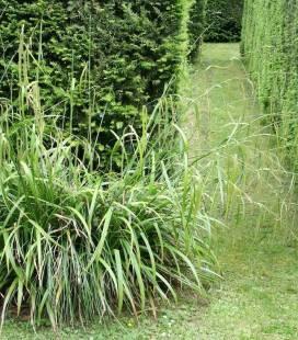 Carex pendula, Осока повисла