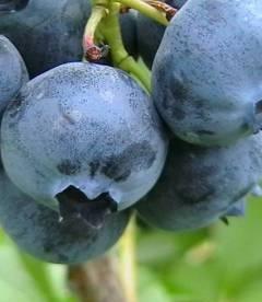 Vaccinium corymbosum 'Bluecrop', Лохина високоросла 'Блукроп'