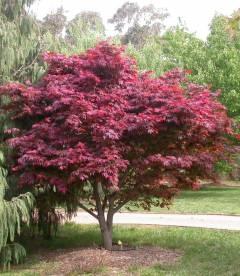 Acer palmatum 'Atropurpureum', Клен пальмолистий 'Атропурпуреум'