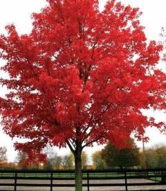 Acer rubrum 'Brandywine', Клен красный 'Брендивайн'