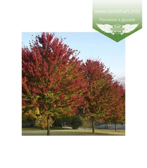 Acer rubrum 'Burgundy Belle', Клен красный 'Бургунди Бэль'
