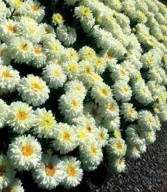 Leucanthemum x superbum 'Macaroon', Ромашка Шаста 'Макарун'