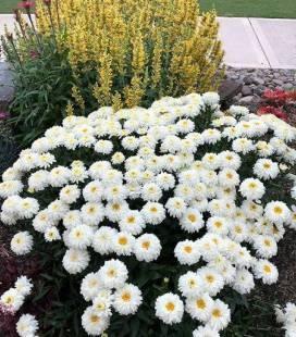 Leucanthemum x superbum 'Macaroon', Маргаритка Шаста 'Макарун'