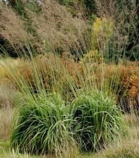Molinia arundinacea 'Windspiel', Молінія очеретяна 'Віндшпіль'