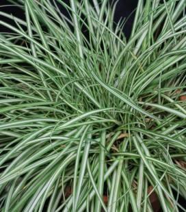 Carex brunnea 'Variegata', Осока коричневая 'Вариегата'