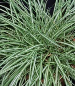 Carex brunnea 'Variegata', Осока коричнувата 'Варієгата'