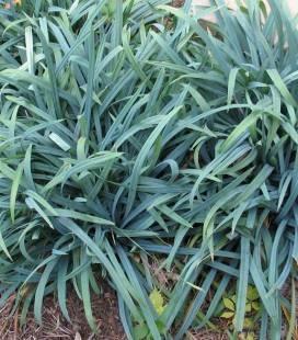 Carex laxiculmis 'Bunny Blue', Осока развесистостебельная 'Банни Блу'