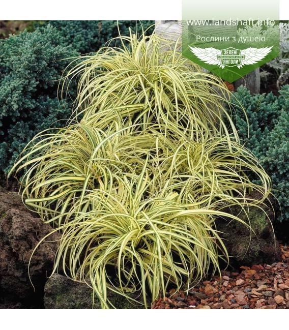 Carex oshimensis 'Evergold', Осока охименская 'Эверголд'