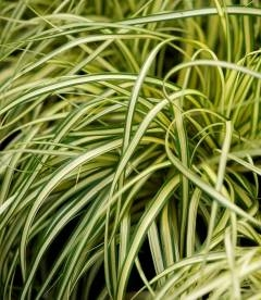 Carex oshimensis 'Evergold', Осока охіменська 'Еверголд'