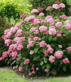 Hydrangea arborescens 'Pink Annabelle', Гортензия древовидная 'Пинк Анабель'