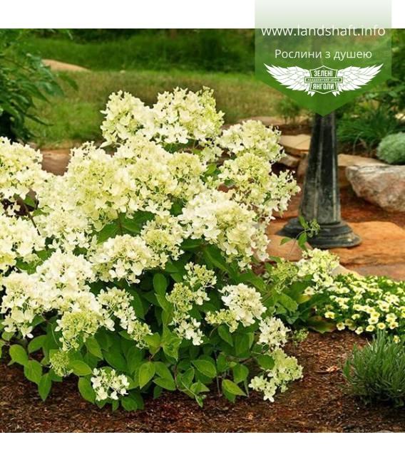 Hydrangea paniculata 'Bombshell', Гортензия метельчатая 'Бомбшел'