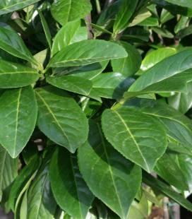 Prunus laurocerasus 'Novita', Лавровишня 'Новіта'