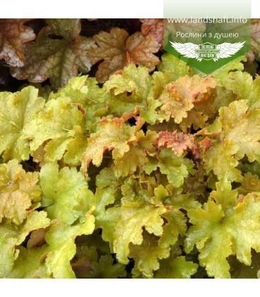 Heuchera hybrida 'Amber Waves', Гейхера гибридная 'Амбер Вэйвз'