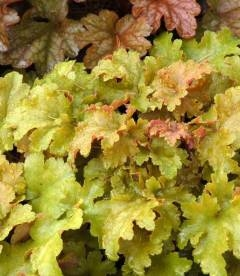 Heuchera hybrida 'Amber Waves', Гейхера гибридная 'Амбер Вэйвз'