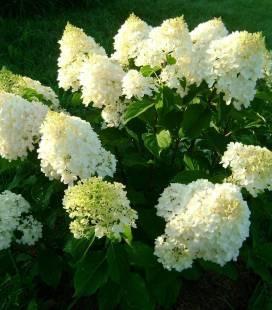Hydrangea paniculata 'Silver Dollar', Гортензія волотиста 'Сілвер Доллар'