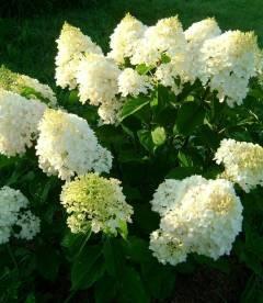 Hydrangea paniculata 'Silver Dollar', Гортензия метельчатая 'Силвер Доллар'