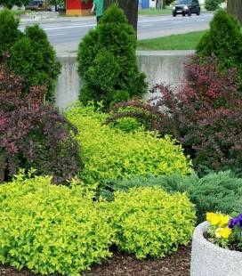 Spiraea japonica 'Golden Carpet' Спирея японская