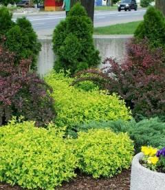 Spiraea japonica 'Golden Carpet', Спирея японская 'Голден Карпет'