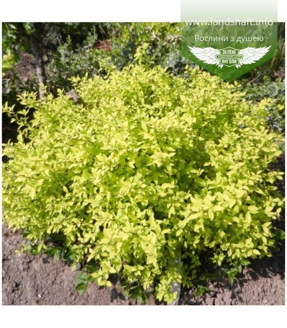 Spiraea japonica 'Golden Carpet', Спірея японська 'Голден Карпет'