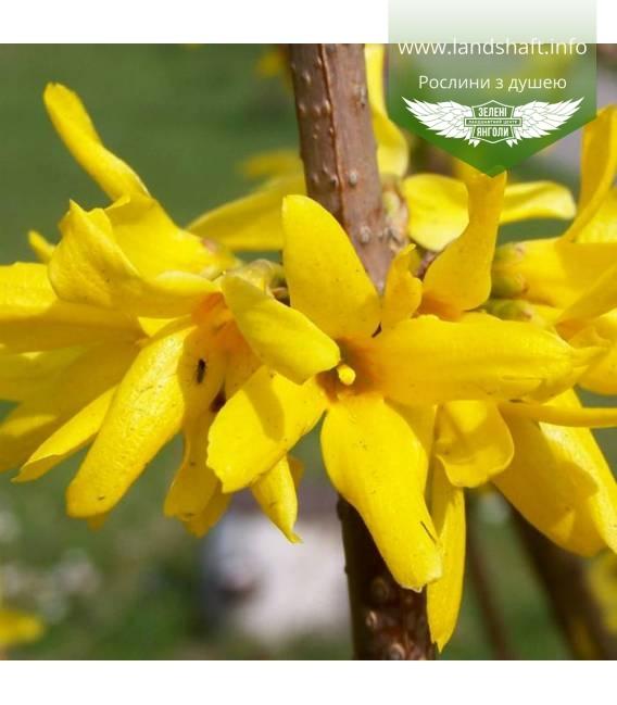 Forsythia x intermedia, Форзиція середня