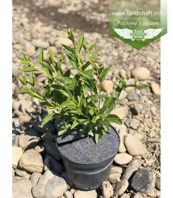 Forsythia x intermedia, Форзиція середня купити з доставкою