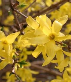 Forsythia x intermedia Форзиция средняя