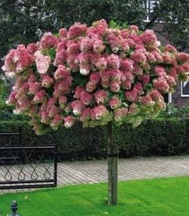Hydrangea paniculata 'Vanille Fraise' STAM, Гортензия метельчатая 'Ванилле Фрайз' Штамб