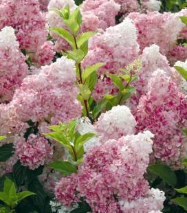 Hydrangea paniculata 'Vanille Fraise', Гортензия метельчатая 'Ванилле Фрайз'