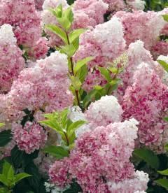 Hydrangea paniculata 'Vanille Fraise', Гортензия метельчатая 'Ванилла Фрейз'