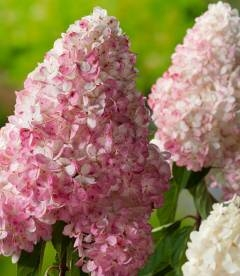 Hydrangea paniculata 'Vanille Fraise', Гортензія волотиста 'Ванілле Фрайз'