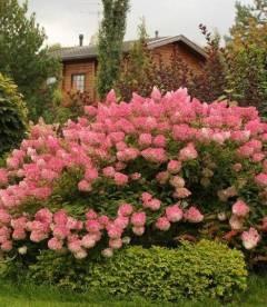 Hydrangea paniculata 'Vanille Fraise' Гортензия метельчатая