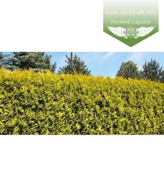 Thuja occidentalis 'Golden Brabant' Туя западная 'Голден Брабант'