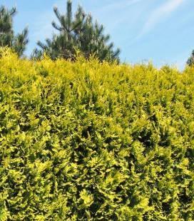 Thuja occidentalis 'Golden Brabant', Туя західна 'Голден Брабант'