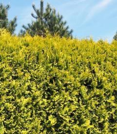 Thuja occidentalis 'Golden Brabant', Туя западная 'Голден Брабант'