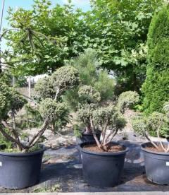 Juniperus squamata 'Wilsonii' Form, Ялівець лускатий 'Вілсоні' Формований
