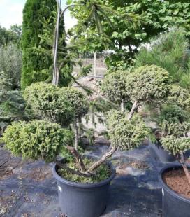 Juniperus squamata 'Wilsonii' Form, Можжевельник чешуйчатый 'Вилсони' Формированный
