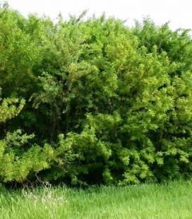 Caragana arborescens, Карагана деревяниста