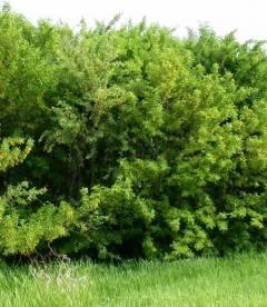 Caragana arborescens, Карагана древовидная