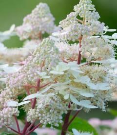 Hydrangea paniculata 'Early Harry', Гортензия метельчатая 'Ерли Харри'
