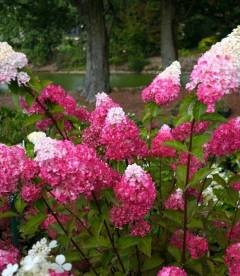 Hydrangea paniculata 'Fraise Melba', Гортензия метельчатая 'Фрайз Мельба'