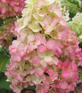 Hydrangea paniculata 'Fraise Melba', Гортензія волотиста 'Фрайз Мельба'