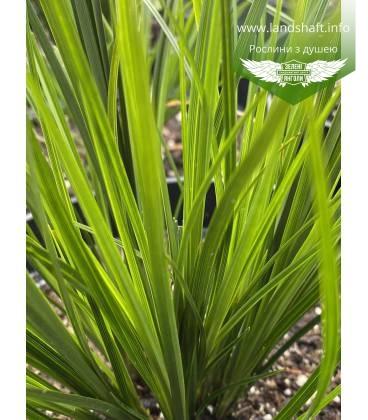 Осока коричнувата 'Рейсінг Грін' темнозелена злакова трава