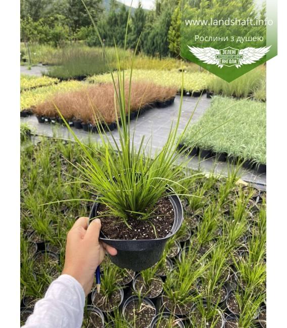 Carex brunnea 'Racing Green', Осока коричневатая 'Рейсинг Грин'