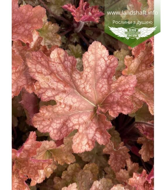 Гейхера гібридна 'Джінджер Піч' рожево - персиковий колір листя