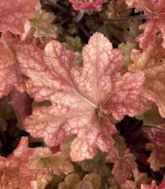 Гейхера гибридная 'Джинджер Пич' розово - персиковый цвет листьев