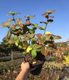 Hydrangea paniculata 'Mega Mindy', Гортензія волотиста 'Мега Мінді'